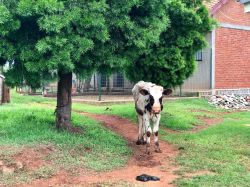 Vaches_2